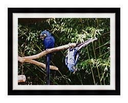 Brandie Newmon Blue Parrots Hanging Around canvas with modern black frame
