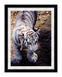 Brandie Newmon White Tiger Cub Exploring canvas with modern black frame