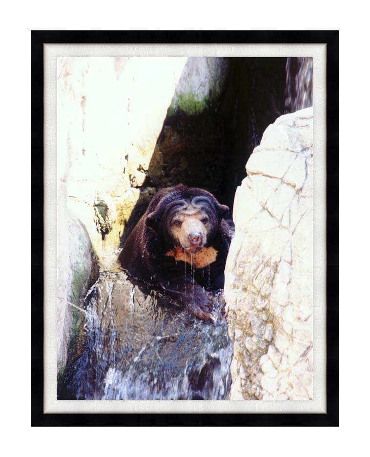 Brandie Newmon Sun Bear Cooling Off with Modern Black Frame