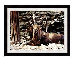 Brandie Newmon Ibex   Wild Goats canvas with modern black frame
