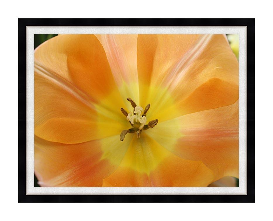 Kim O'Leary Photography Beautiful Orange Tulip with Modern Black Frame