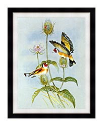 John Gould Goldfinch canvas with modern black frame