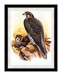 John Gould Gyrfalcon canvas with modern black frame