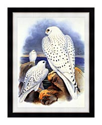 John Gould Gyrfalcon   Greenland Falcon canvas with modern black frame