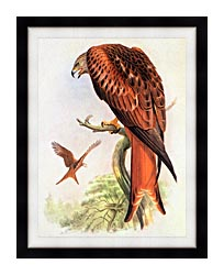John Gould Red Kite canvas with modern black frame