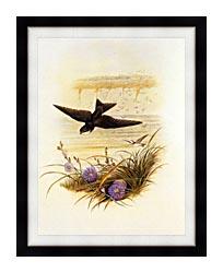 John Gould Sand Martin canvas with modern black frame