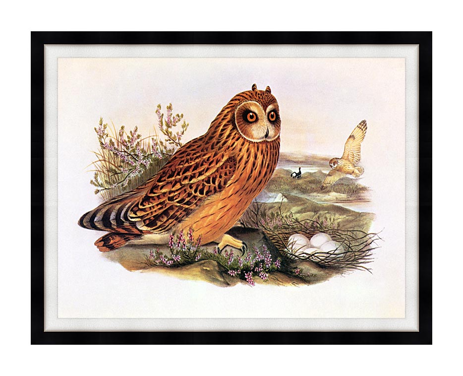 John Gould Short-Eared Owl with Modern Black Frame