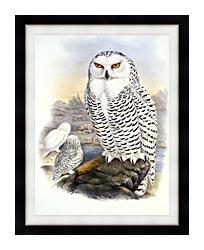 John Gould Snowy Owl canvas with modern black frame