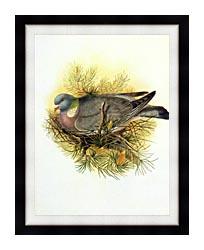 John Gould Wood Pigeon canvas with modern black frame