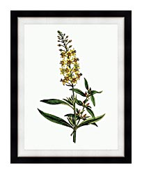William Curtis Bulb Bearing Loosestrife canvas with modern black frame
