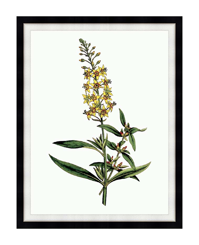 William Curtis Bulb Bearing Loosestrife with Modern Black Frame
