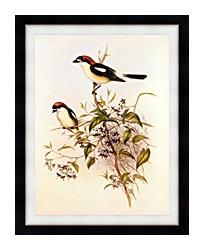 John Gould Woodchat Shrike canvas with modern black frame