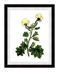 William Curtis Golden Flowered Henbane canvas with modern black frame