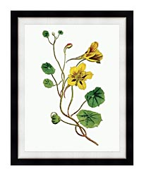 William Curtis Indian Cress canvas with modern black frame