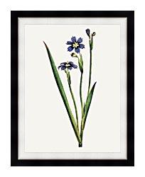 William Curtis Iris Leaved Sisyrinchium canvas with modern black frame