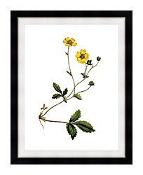 William Curtis Large Flowered Potentilla canvas with modern black frame
