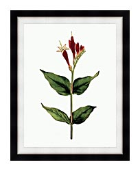 William Curtis Maryland Spigelia canvas with modern black frame