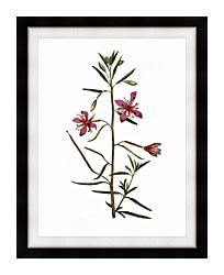 William Curtis Narrowest Leaved Willow Herb canvas with modern black frame