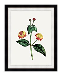 William Curtis Prickly Lantana canvas with modern black frame