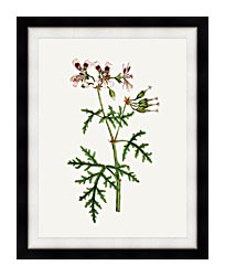 William Curtis Rasp Leaved Geranium canvas with modern black frame
