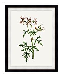 William Curtis Rasp Leaved Geranium canvas with modern black frame