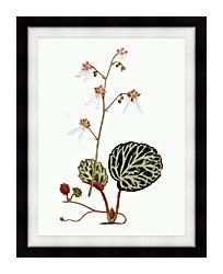 William Curtis Strawberry Saxifrage canvas with modern black frame