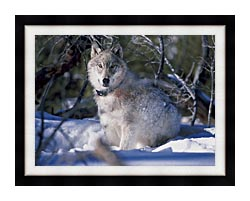 U S Fish And Wildlife Service Gray Wolf In Snow canvas with modern black frame