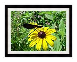 U S Fish And Wildlife Service Ebony Jewelwing On Black Eyed Susan canvas with modern black frame