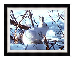 U S Fish And Wildlife Service Artic Hare Rabbit canvas with modern black frame