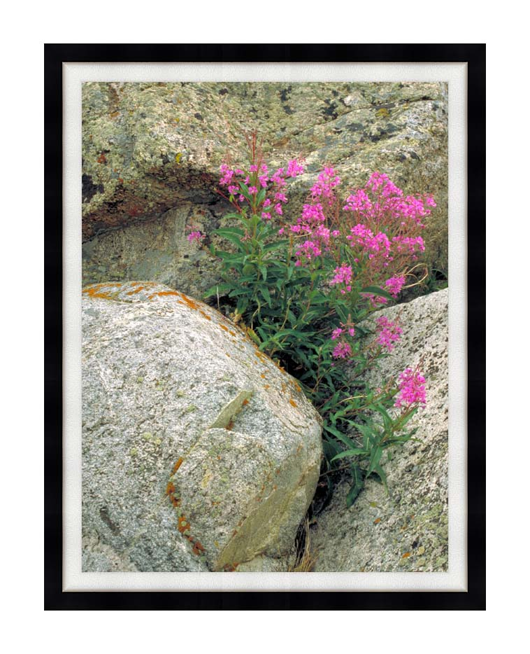 U S Fish and Wildlife Service Fireweed with Modern Black Frame