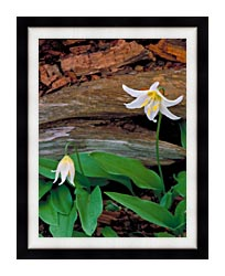 U S Fish And Wildlife Service Glacier Lily canvas with modern black frame
