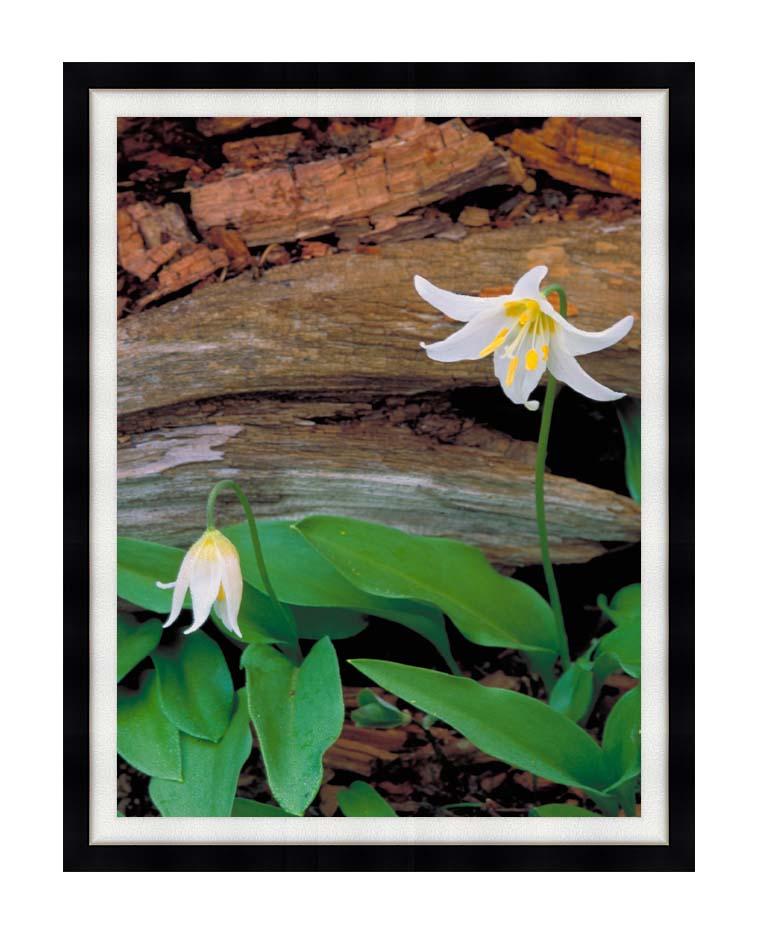 U S Fish and Wildlife Service Glacier Lily with Modern Black Frame