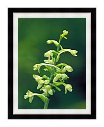 U S Fish And Wildlife Service Green Fringed Orchid canvas with modern black frame