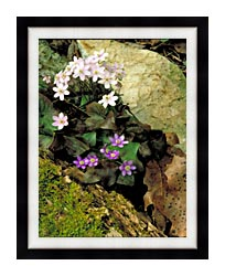 U S Fish And Wildlife Service Hepatica canvas with modern black frame