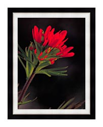 U S Fish And Wildlife Service Red Indian Paintbrush canvas with modern black frame