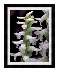 U S Fish And Wildlife Service Nodding Ladies Tresses canvas with modern black frame