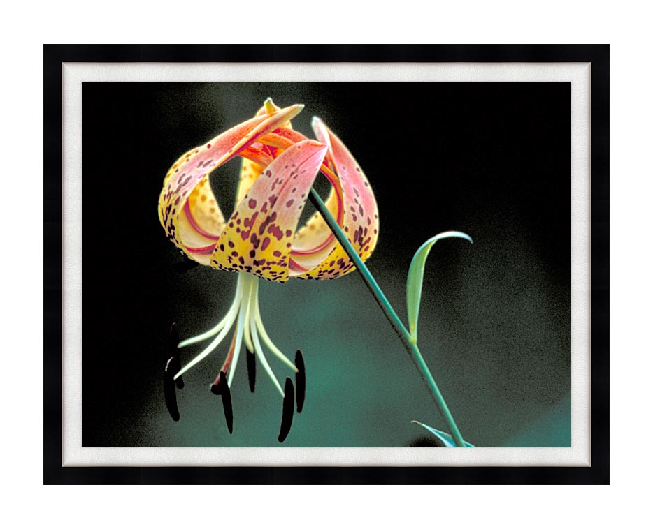 U S Fish and Wildlife Service Nodding Spotted Red Trillium with Modern Black Frame