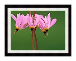 U S Fish And Wildlife Service Pink Shooting Star canvas with modern black frame