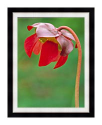 U S Fish And Wildlife Service Pitcher Plant canvas with modern black frame