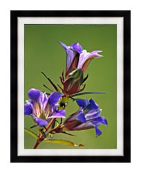 U S Fish And Wildlife Service Prairie Gentian canvas with modern black frame