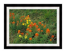 U S Fish And Wildlife Service Prairie Paintbrush canvas with modern black frame