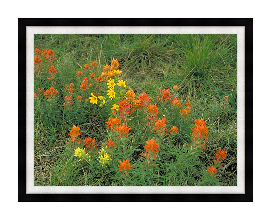 U S Fish and Wildlife Service Prairie Paintbrush with Modern Black Frame