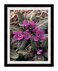 U S Fish And Wildlife Service Pribilof Wildflowers Primula canvas with modern black frame