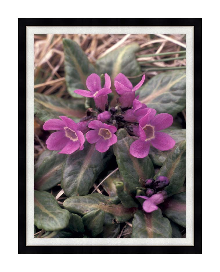 U S Fish and Wildlife Service Pribilof Wildflowers, Primula with Modern Black Frame