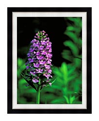 U S Fish And Wildlife Service Purple Fringed Orchid canvas with modern black frame