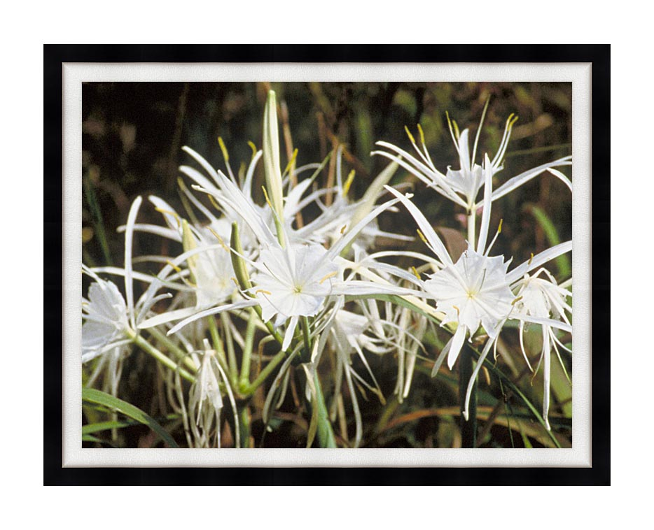 U S Fish and Wildlife Service Spider Lily with Modern Black Frame