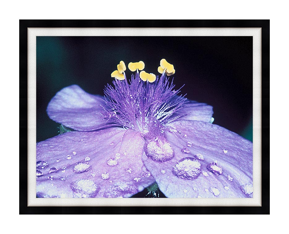 U S Fish and Wildlife Service Spider Wort Flower Art with Modern Black Frame