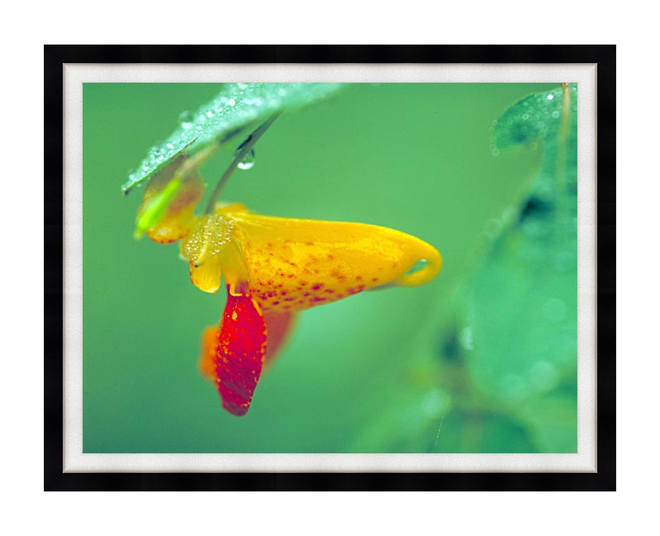 U S Fish and Wildlife Service Spotted Jewelweed with Modern Black Frame