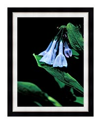U S Fish And Wildlife Service Virginia Bluebells canvas with modern black frame
