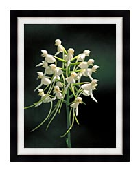 U S Fish And Wildlife Service White Fringeless Orchid canvas with modern black frame